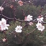 筑紫神社の可憐なジユウガツザクラ